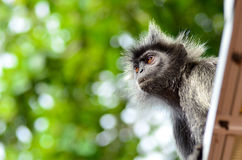 Silver Leaf Monkey Stock Photography