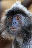 Silver Leaf Monkey. Adult Silver Leaf Monkey in Borneo royalty free stock images