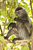 Silver Leaf Monkey/Langur in Tree Royalty Free Stock Images