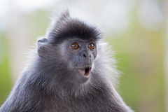 Silver Leaf Monkey Royalty Free Stock Photos