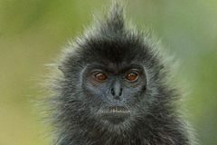 Silver-leaf Monkey Royalty Free Stock Photos