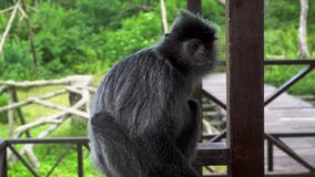 Silver Leaf Monkey Trachypithecus cristatus. Silver Leaf Monkey shot with a Sony a6300 fps29,97 4k stock video footage