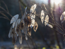 Silver Leaf. The seeds of the silver leaf in winter stock image
