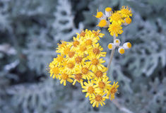 Silver Leaf Tansy Stock Image