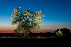 Silver leaf tree on sunset Royalty Free Stock Photo