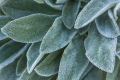 Silver Leafed Garden Plant Royalty Free Stock Images