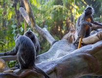 Silver Leafed Monkey. A mother silver leafed monkey clutches her infant stock photography