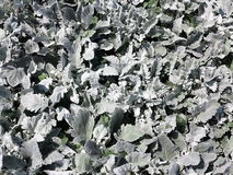 Silver leaves clustered background Royalty Free Stock Image