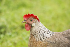 Silver Leghorn hen Stock Photos