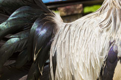 Silver Leghorn rooster detail Royalty Free Stock Images