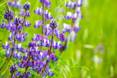 Silver Lupine Lupinus albifrons wildflowers blooming in south San Francisco bay area, San Jose, California royalty free stock photography