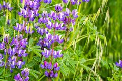 Silver Lupine Lupinus albifrons wildflowers blooming in south San Francisco bay area, San Jose, California royalty free stock image