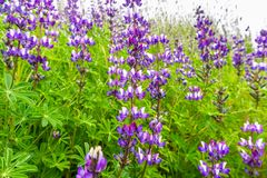 Silver Lupine Lupinus albifrons wildflowers blooming in south San Francisco bay area, San Jose, California stock photography