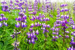 Silver Lupine Lupinus albifrons wildflowers blooming in south San Francisco bay area, San Jose, California stock images