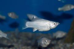 Silver Lyretail Molly Stock Photos