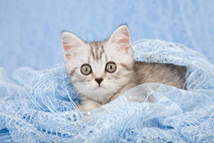 Silver Mackerel tabby kitten on blue Royalty Free Stock Photo