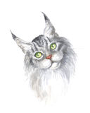 Silver maine coon cat. Image of a thoroughbred maine coon cat. Watercolor painting Stock Photography