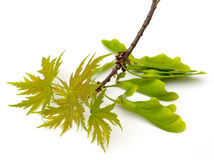 Silver Maple. (Acer saccharinum) new leaves and seeds on white background stock photos