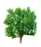 Silver Maple Royalty Free Stock Photography