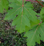 Silver Maple (Acer saccharinum) Leaves After a Summer Rain Stock Photography