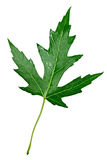 Silver Maple Leaf Stock Images