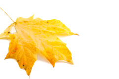 Silver maple leaf off the tree Royalty Free Stock Images