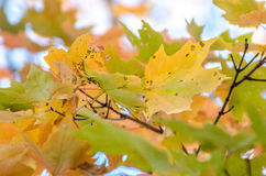 Silver maple tree Royalty Free Stock Photo