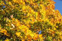 Silver maple tree Stock Images