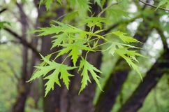Silver maple tree branch with young leaves Acer saccharinum. Acer saccharinum, commonly known as silver maple, creek maple, silverleaf maple, soft maple, large royalty free stock photos
