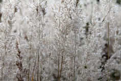 Silver meadow grass. Background vv Royalty Free Stock Photography