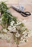 Silver milfoil (Achillea Millfolium), a medicinal herb. Freshly cut silver milfoil (Achillea Millfolium), a medicinal herb, is being prepared for drying stock images