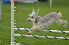 Silver Miniature Schnauzer at a Dog Agility Trial. Silver Miniature Schnauzer Leaping Over a Jump at a Dog Agility Trial Stock Photos