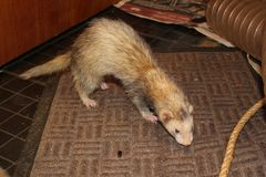 Silver mitt colour ferret playing Royalty Free Stock Photo