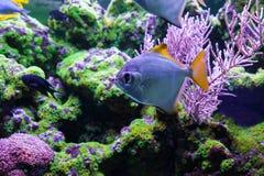 Silver moonfish among corals. Silver moonfish among beautiful, corals. Monodactylus argenteus Stock Photos