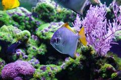 Silver moonfish among corals. Silver moonfish among beautiful, corals. Monodactylus argenteus Royalty Free Stock Image