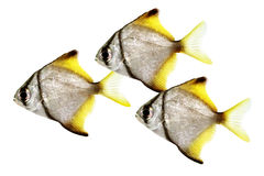 Silver moonfish Monodactylus argenteus Aquarium fish Malayan angel Stock Photo