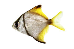 Silver moonfish Monodactylus argenteus Aquarium fish Malayan angel. Islated Royalty Free Stock Image