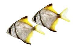 Silver moonfish Monodactylus argenteus Aquarium fish Malayan angel. Islated Stock Images