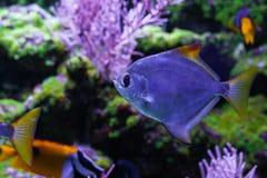 Silver moonfish under sea. Close up. Monodactylus argenteus Stock Images