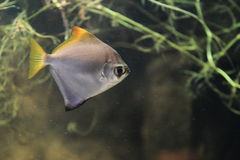 Silver moony. Floating in water Stock Image