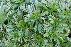 Silver Mound Artemisia Stock Photography