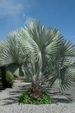 Silver Palm Tree Royalty Free Stock Photo