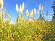 Silver pampas grass on a spanish village Stock Images