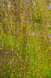 Silver pendula birch male flowers Royalty Free Stock Photos