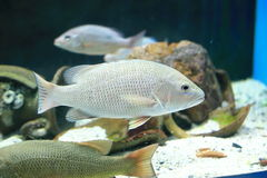 Silver perch. (Bidyanus bidyanus) are a medium-sized freshwater fish endemic to the Murray-Darling river system in south-eastern Australia. Their scientific Stock Photography