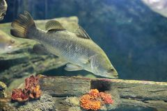 Silver perch Royalty Free Stock Photo