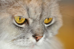 Silver Persian. Close up of a silver persian cat face Stock Photo