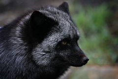 Silver phase fox Royalty Free Stock Image