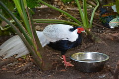 Silver Pheasant Stock Photography