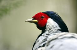 Silver pheasant Stock Photo